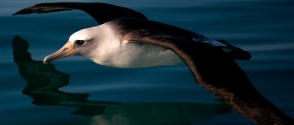 albatross-over-water_usfws